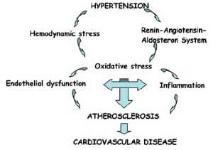 Mechanisms involved in the link between hypertension and atherosclerosis, which is the principal origin of cardiovascular disease