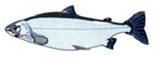 omega 3 enriched fish